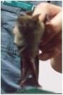 bat copy